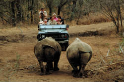 Rhinos being watched on a game drive