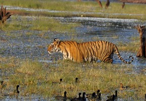 Tiger tourism ban lifted from Ranthambore National Park