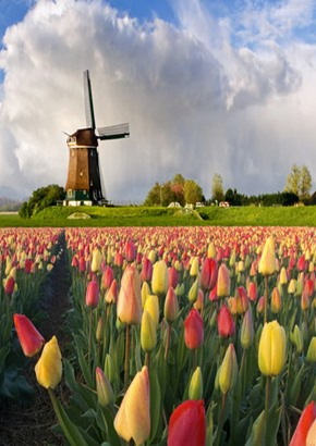 Tullips and windmill