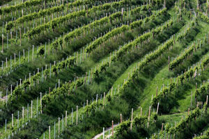 Prosecco Vineyard
