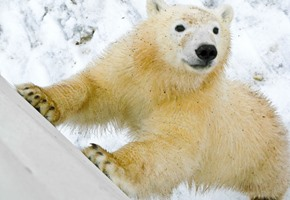 Polar Bear Encounter in Churchill, Hudson Bay, Canada