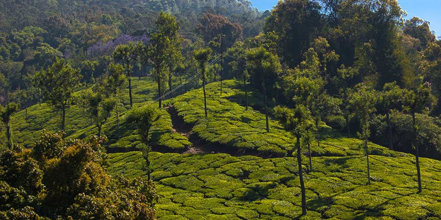 Coonoor Tea Plantation