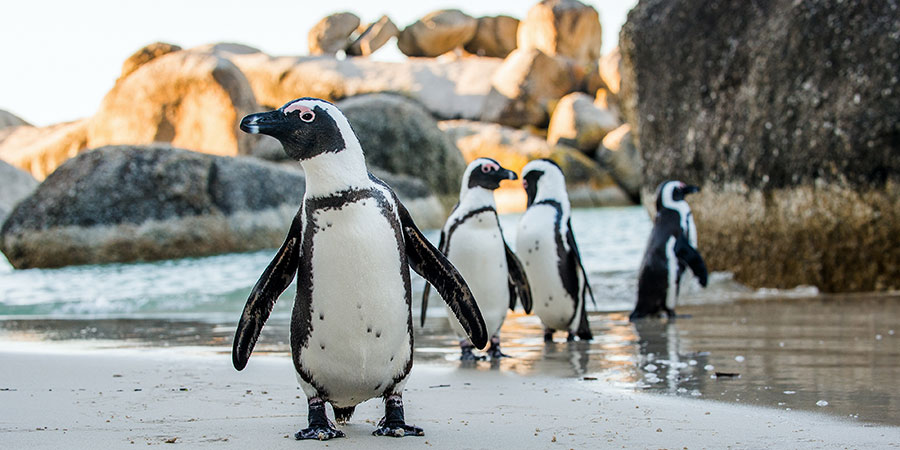Boulders Bay Penguins South Africa